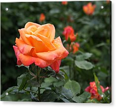 Pensioners Voice Roses Acrylic Print by Rona Black