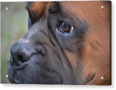 Pensive Boxer Acrylic Print by Linda Koelbel