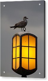 Pensive Gull Acrylic Print by Rexford L Powell