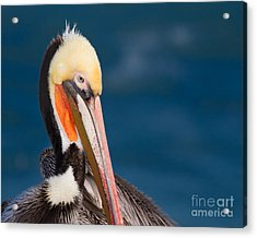 Acrylic Print featuring the photograph Pensive Pelican by Dale Nelson