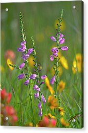 Penstemon In A Field Of Other Acrylic Print