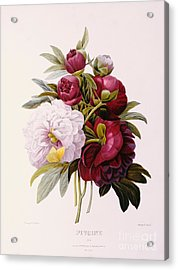 Peonies Engraved By Prevost Acrylic Print by Pierre Joseph Redoute