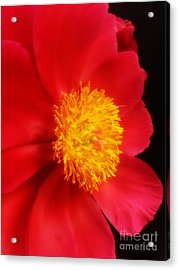 Peony 2 Acrylic Print by Heather L Wright