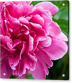 Peony After The Rain Acrylic Print