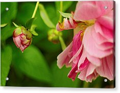 Acrylic Print featuring the photograph Peony Flower With Bud by Suzanne Powers
