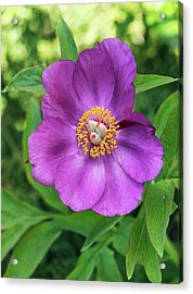 Peony (paeonia Cambessedesii) Flower Acrylic Print by Adrian Thomas/science Photo Library