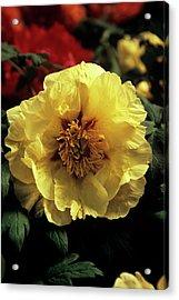 Peony (paeonia 'golden Isle') Acrylic Print by Ian Gowland/science Photo Library