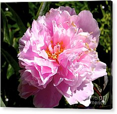 Acrylic Print featuring the photograph Peony by Sher Nasser