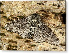 Peppered Moth Acrylic Print by Nigel Downer