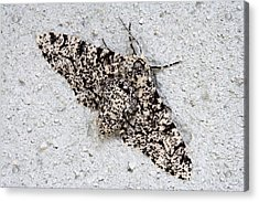 Peppered Moth Acrylic Print by Power And Syred
