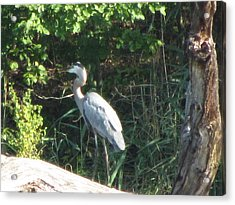 Perched Blue Heron Pondering Acrylic Print by Debbie Nester