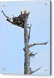 Perched Eagle Acrylic Print