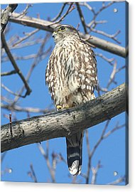 Perched Merlin Acrylic Print
