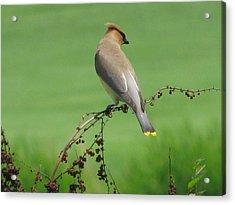 Perched On A Twig Acrylic Print by Selma Glunn