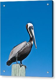 Perched Wil 391 Acrylic Print by G L Sarti