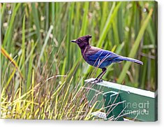 Perching Jay Acrylic Print by Kate Brown