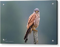 Perching Acrylic Print by Torbjorn Swenelius