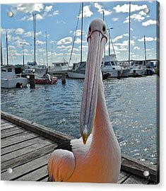 Percy The Pelican Acrylic Print by Kirsten Giving