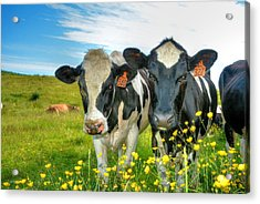 Percy's Holsteins Acrylic Print