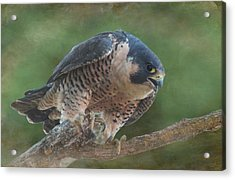 Peregrine Falcon Acrylic Print by Angie Vogel