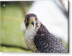 Peregrine Falcon Bird Of Prey Acrylic Print by Eleanor Abramson