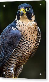 Peregrine Falcon Acrylic Print by Craig Brown
