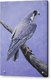 Peregrine Falcon Acrylic Print by Crista Forest
