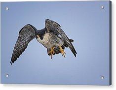Peregrine Falcon Acrylic Print by Gary Hall