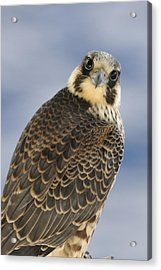 Peregrine Falcon Looking At You Acrylic Print