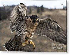 Peregrine Falcon Acrylic Print by Wildlife Fine Art