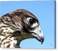 Peregrine Falcon Tashunka Acrylic Print by Christina Rollo