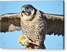Peregrine Falcon With Chicken For Dinner Acrylic Print by Paulette Thomas