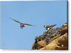 Peregrine Falcons - 1 Acrylic Print
