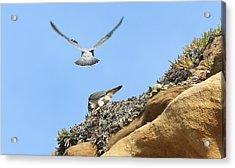 Peregrine Falcons - 2 Acrylic Print
