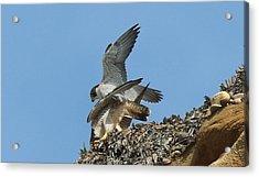 Peregrine Falcons - 4 Acrylic Print