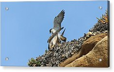 Peregrine Falcons - 5 Acrylic Print