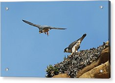 Peregrine Falcons - 6  Acrylic Print