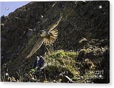 Peregrine Flight Training Acrylic Print