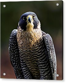 Peregrine Focus Acrylic Print by Mary Jo Allen