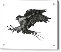 Peregrine Hawk Or Falcon Black And White With Pen And Ink Drawing Acrylic Print by Mario Perez