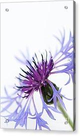 Perennial Cornflower Acrylic Print by Anne Gilbert