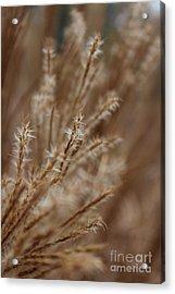 Perennial Grass Acrylic Print by Arlene Carmel