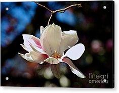 Perfect Bloom Magnolia Acrylic Print