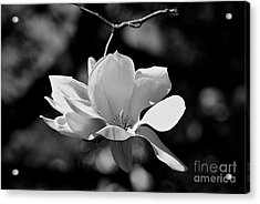 Perfect Bloom Magnolia In White Acrylic Print