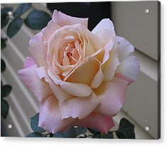 Perfect Blushing October Rose Acrylic Print by Barbara McDevitt