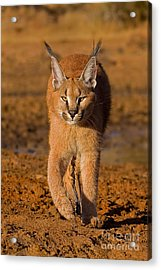 Perfect Composure Acrylic Print by Ashley Vincent