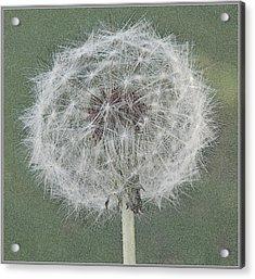 Perfect Dandelion Acrylic Print