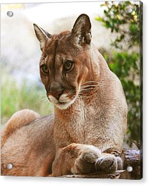 Perfect Panther Acrylic Print by DiDi Higginbotham