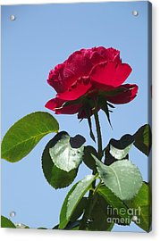 Perfect Red Rose Acrylic Print by Cheryl Hardt Art