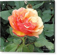 Acrylic Print featuring the photograph Perfect Rose by Janette Boyd